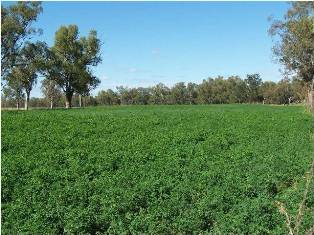 Rich river loam soil produces high quality lucerne