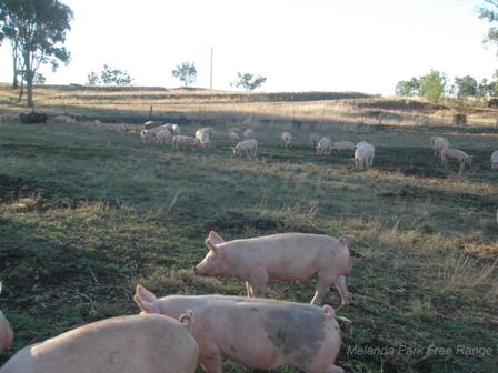 Free range pigs grazing on a farm in Northern NSW.