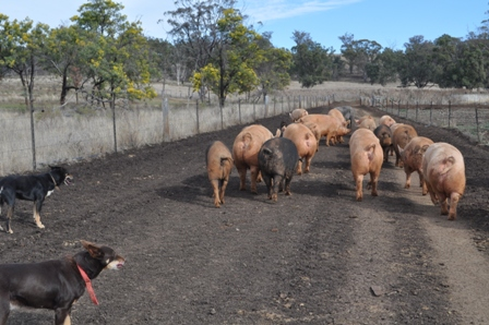 Free range pigs being moved along a well designed laneway.
